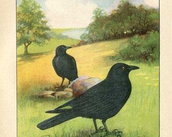 Vintage 1927 American Birds Original Bookplate Illustration, Print, Crow, Crows in the Field, Bird Outdoor Scene Print, Wall Decor,