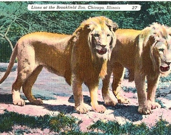 Vintage Chicago Postcard - Lions at the Brookfield Zoo (Unused)