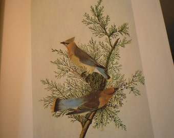 Vintage - Cedar Waxwing - Audubon Color Plate from original 1820 print - Cincinnati life painting - gift for birders - nature lovers