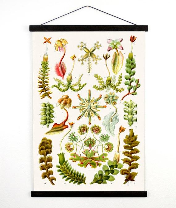 Pull Down Chart - Vintage Botanical Hepaticae Liverworts Reproduction Print. Haeckel Vintage Science Plate. Educational Diagram - CP222CV