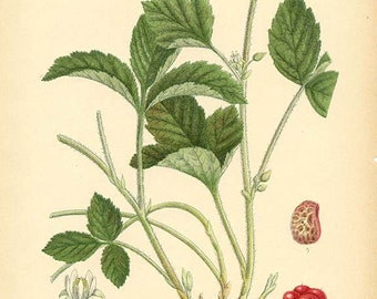 STONE BRAMBLE - Botanical book plate 309
