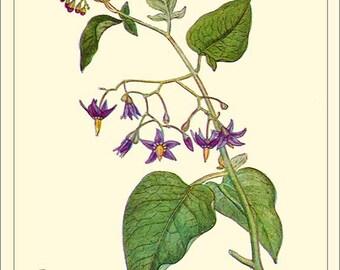 BITTERSWEET Art Card - Botanical print reproduction