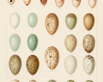 Nature Study Field Bird Eggs. Bird Eggs Print in Pastel Colors. Natural History Print Home Decor Wall Art Design. Affordable Art Gift
