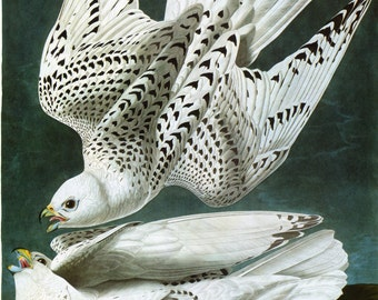 John James Audubon Reproductions - Birds of America, Gyrfalcon [Iceland or Jer Falcon], 1827-1835. Fine Art Print.
