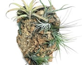Air Plant Vertical Garden:  Air plant wall hang, Air plant planter, wood planter, air plant holder