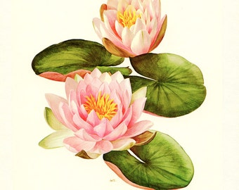 1972 Vintage Nymphea poster Pink lotus poster botanical art nymphea art Lotus art Floral poster Lotus flower Lotus print Lotus decor yoga