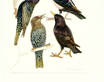 Starling print 1961 Vintage bird poster starling bird print starling poster Bird art Bird gift bird decor Ornithology gift