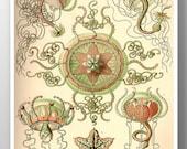 Jellyfish Poster, Jellyfish Art Print, Ernst Haekel Scientific Illustration, Trachomedusae from Kunstformen der Natur, Educational Art
