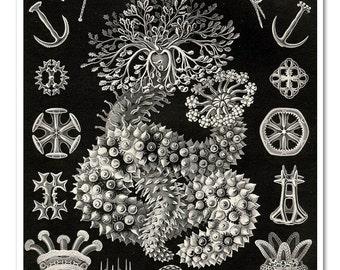 Sea Cucumber Wall Art, Posters, Ernst Haeckel Digital Illustration, Art Print, Natural History Art, Educational Art, Black and White