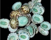 Bulk Green (Aqua) Limpet Seashells Coastal Beach Wedding Decor and Supplies for Floral and Photo Prop Accessories
