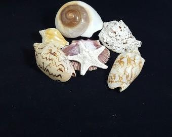Natural Sea Shells, 7 Natural Shells (7-6)