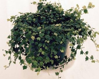"""Mini Oakleaf Creeping Fig - Terrarium/Topiary/HousePlant/Fairy Garden - 4"""" Pot"""