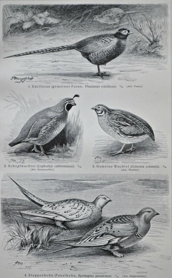 Pheasant, California quail, common quail. Birds  print. Old book plate, 1904. Antique illustration. 112 years lithograph. 6x9'2 inches.