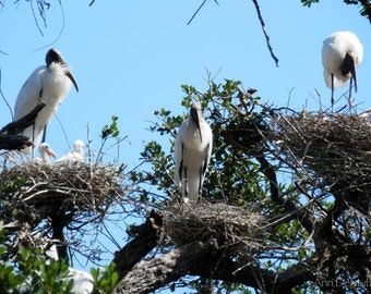 Bird Photography, Woodstorks and Young 244, St. Augustine, FL,  Fine Art Print, Home Decor, 5x7, 8x10, 11x14