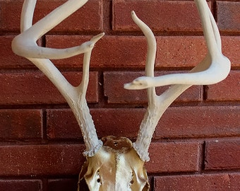 Very Unique, Painted Deer Skull, Golden Skull, White Antlers, Found Object, Taxidermy, Art, Home Decor, Design, Gift, 10 point, Real Skull