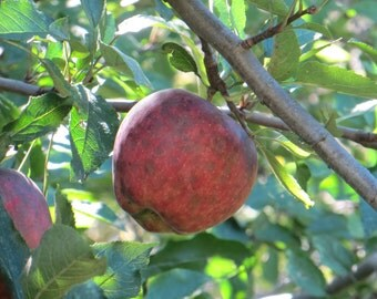 Red Apple, Fine Art Print, Home Decor Photo, Apple Photo, Country Photography