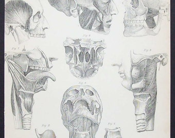 Antique scientific illustration - Physiology - muscles of the head and neck