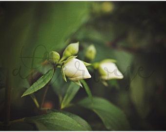 Flower Bud Photography. Flower Photography. Flower Photo. Flower Print. White Flower Photo. Flower Fine Art Photography. Botanical Print.