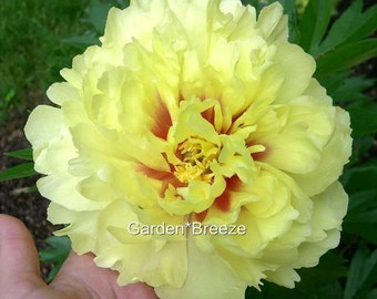Itoh Peony Bartzella 2-3-eye root ~ SHIPPING BEGINS Early October