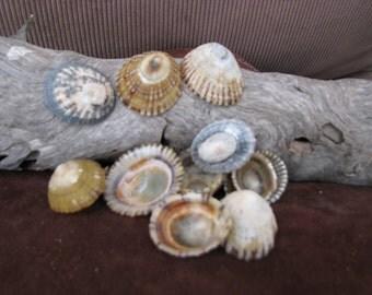 Seashells Assorted Limpet Shells (set of 14)