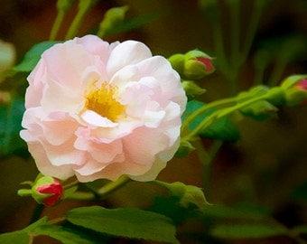 Shrub Rose, Giclee, Print, Photograph, pink, Flower Print, digital painting, wall art,