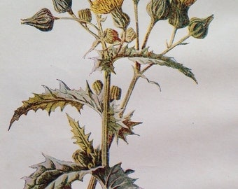 1878 SOWTHISTLE Original Antique Botanical Lithograph - Botany - Flower - Wall Decor  - Home Decor - Matted & Ready to Frame