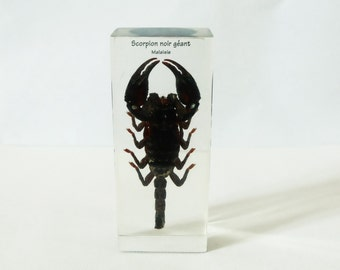 Real  Scorpion in a resin block