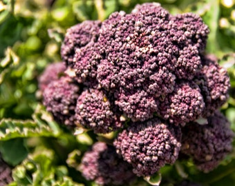 Broccoli Purple Sprouting ( 200 => 6400 seeds) heirloom bulk rare non GMO ST#245
