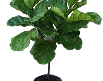 """Ficus Lyrata Tree Plant in 12"""" Pot - Also Called Fiddle Leaf Fig or Pandurata - About 48"""" tall - Nice!"""