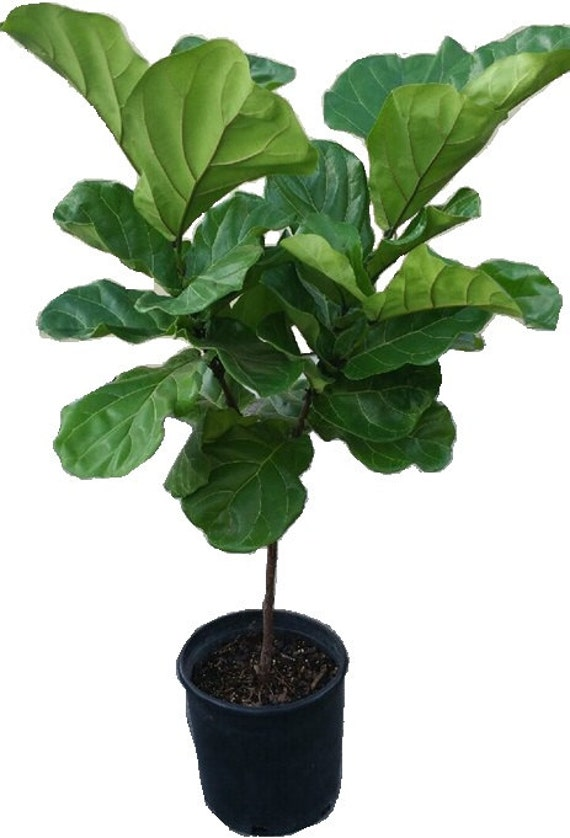 ficus lyrata tree plant in 14 pot also called fiddle. Black Bedroom Furniture Sets. Home Design Ideas