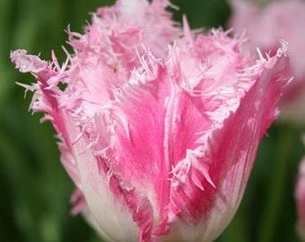 20 Tulip Bulbs - Dallas Fringed Tulip