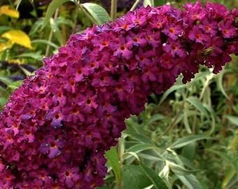 1 - Royal Red - Butterfly Bush