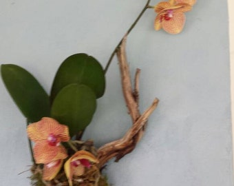 Orchid mounted on Driftwood