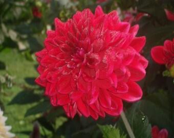 Dark pink Dahila