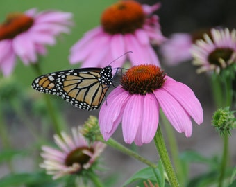 Monarch Butterfly Photos // Purple Coneflower Photos // Coneflower Photos // Flower and Butterfly Photos // Flower Photographs //  Butterfly