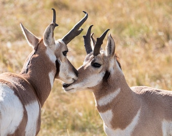 Greeting card_041 - Pronghorn in love