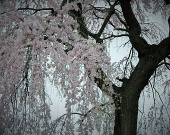 Cherry Blossoms In Soft Shades Photograph #132