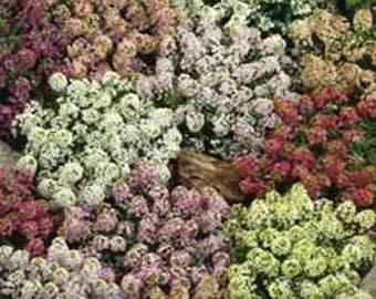 Paletta Mix Alyssum/Lobularia Maritima/Annual    60+