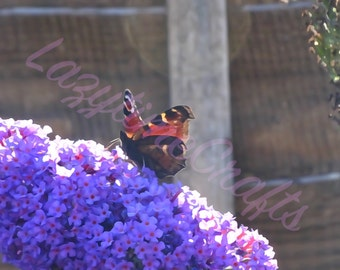 Butterfly on Buddleia - Watercolour