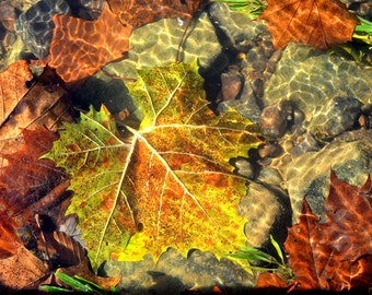 Autumn Leaves Submerged, Green River