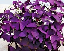 2 Red Purple Wood Sorrel Perennial Flower Seeds | Oxalis Corymbosa Lucky 4 leaves | Plants Home Garden Decor Heirloom