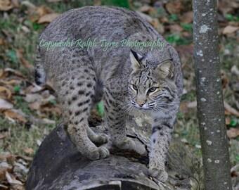 Bobcat #160