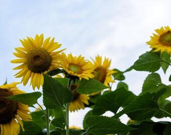 Fine art photography print of sunflowers in field photo wall art