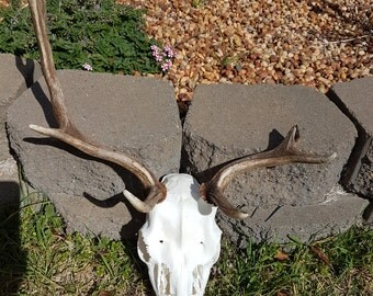 Real Fallow Stag Deer Skull, European Mount Style