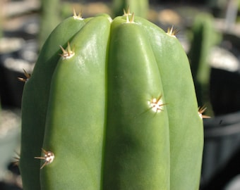 San Pedro Cactus 1 Ft. Clippings