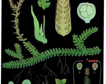 Old School Poster Botany Plant Switzerland, Fern, Moss