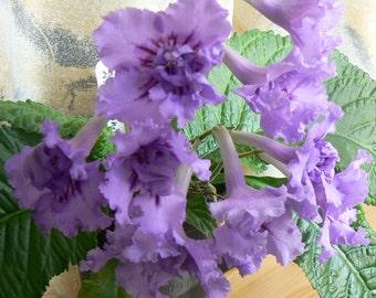 Streptocarpus plug plant DS-Rozhdenie Taifuna (DS-Birth of Typhoon)