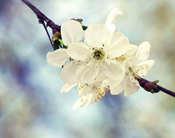 Close up cherry blossom photography print