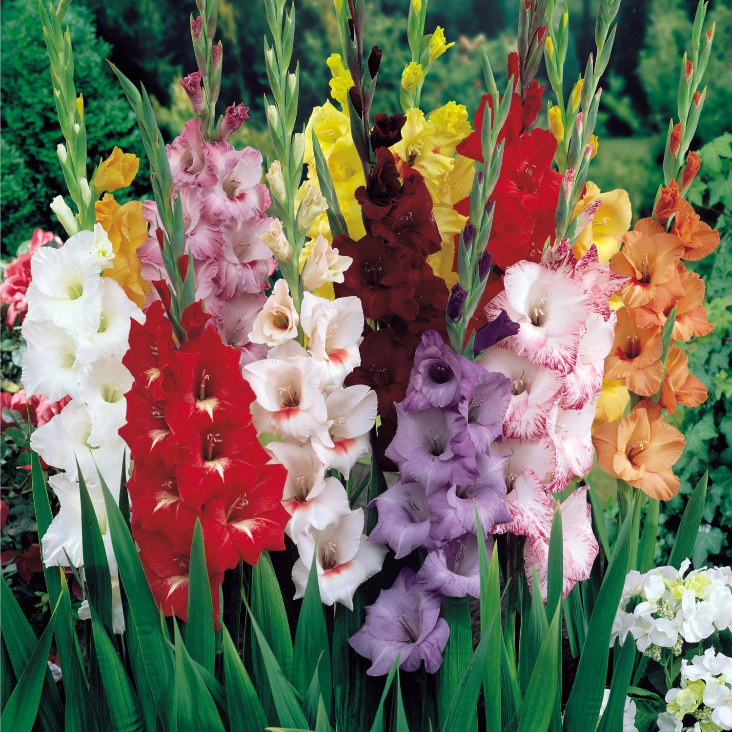Multi Colored Mixed Gladiolus Bulbs by MoodyGardener on Etsy