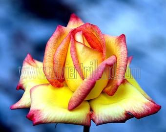 ROSE - DIGITAL PHOTOGRAPHY - Artopen